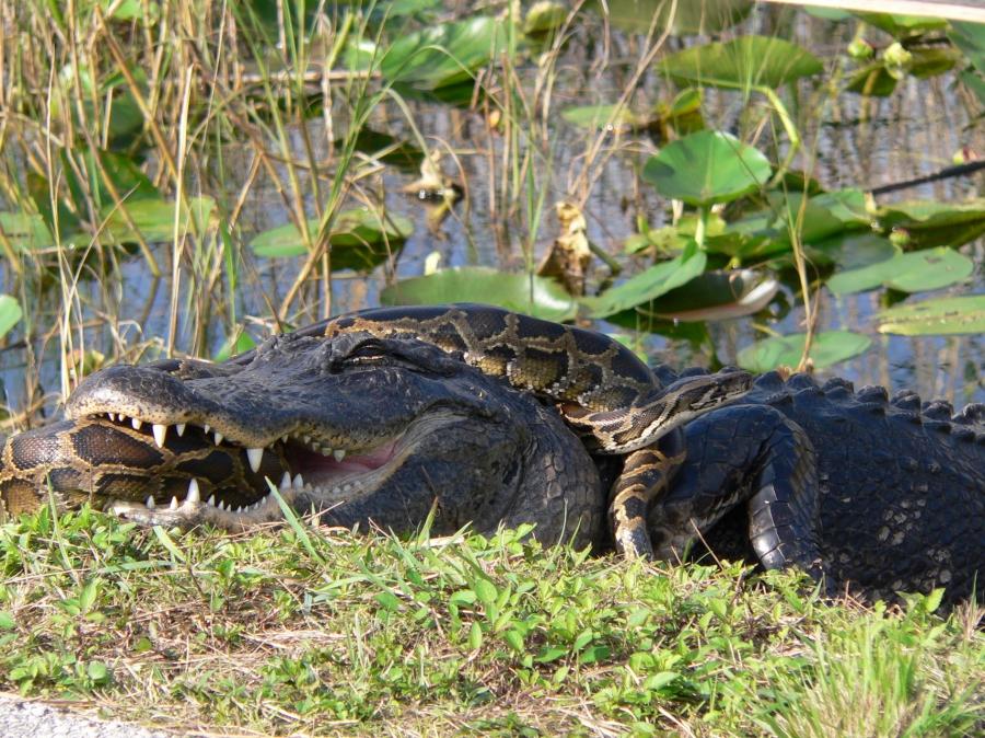 Old Gator's True WhereaboutsRevealed