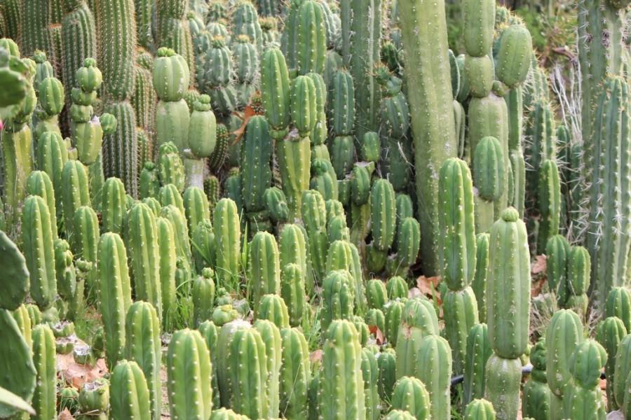 Cactus or Grapefruit?