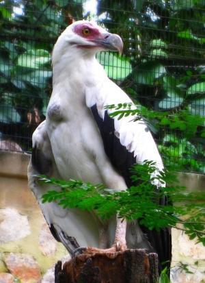 gypohierax_angolensis_-jurong_bird_park-8a