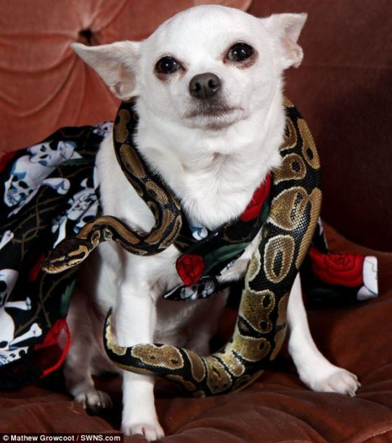 Image result for images of pythons eating chihuahuas